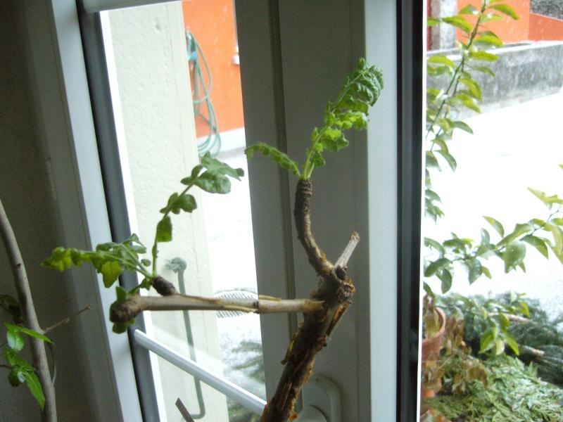 Commyphora harveyi et Boswellia neglecta P1110522