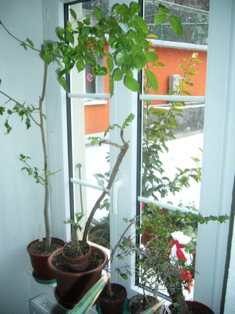 Commyphora harveyi et Boswellia neglecta P1110524