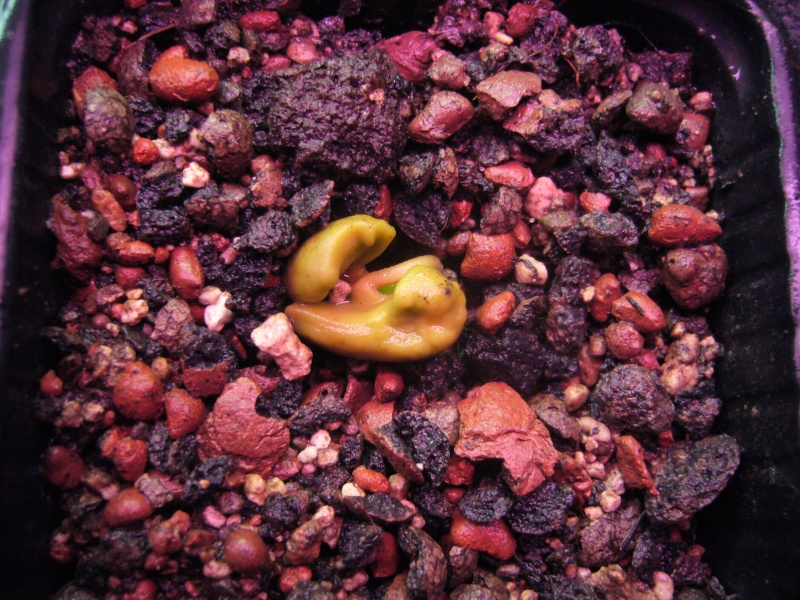 Semis de girofliers (Syzygium aromaticum) P1110623