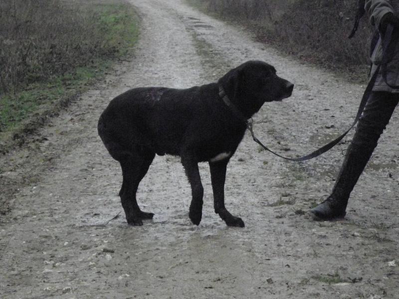 """Lalo petit labrador noir """"60"""".Au refuge de Filémon - Amiens (80) Pc310015"""