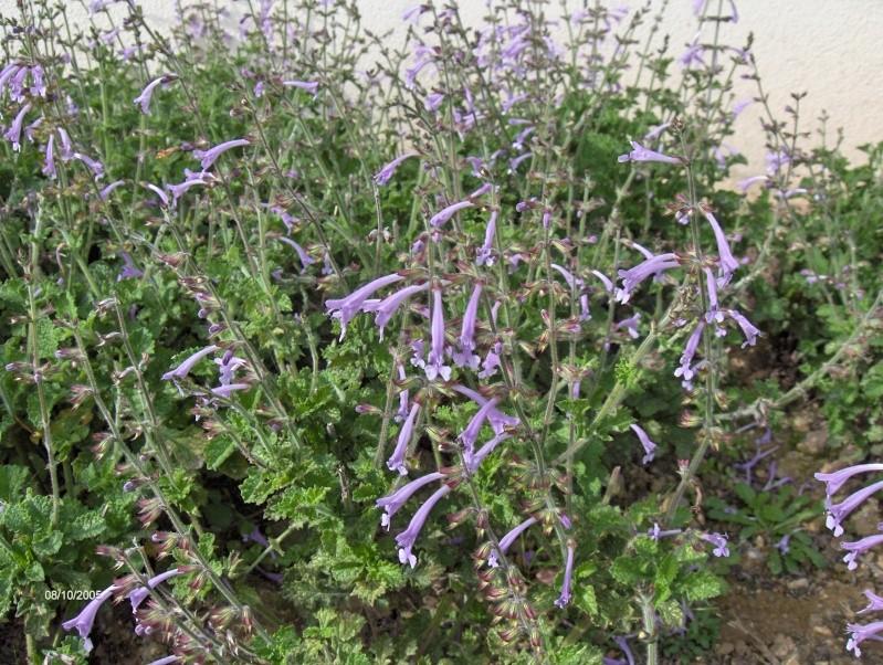 massifs de sauges du  jardin Scabra10