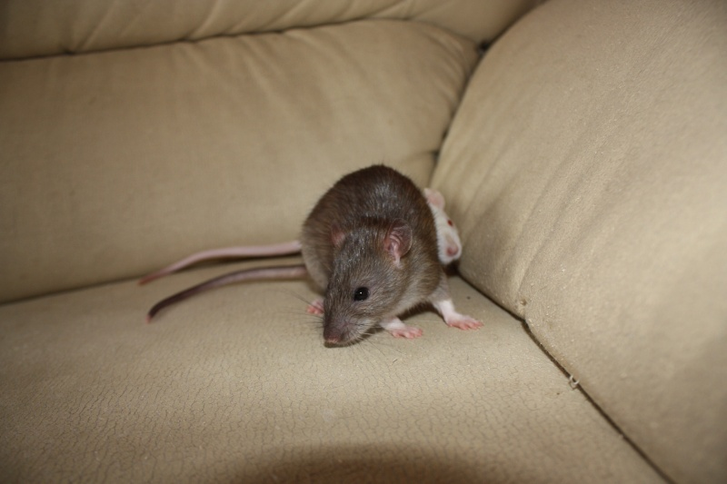 [78] Photos d 3 rattes sauvées des serpents à adopter Photo_21