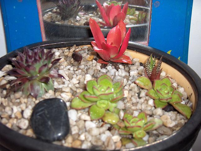 Red Succulent Cacti_10