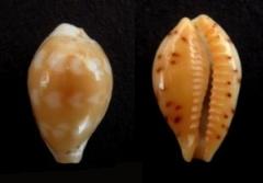 Palmadusta ziczac vittata - (Deshayes, 1831) Zic_za10