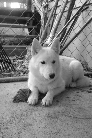 Wolf-Dogs and their Pups Update *12/12* 02310