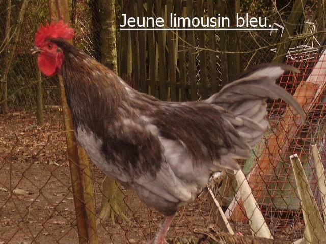 coq de peche Jeune_36