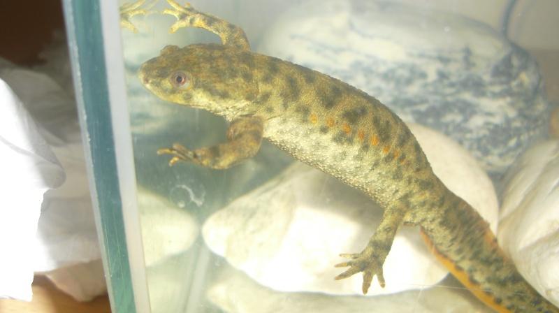 Identification salamandre Cimg0210