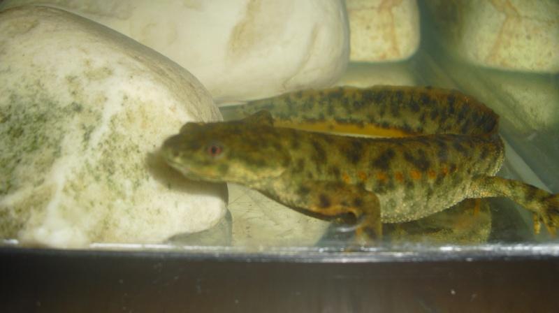 Identification salamandre Cimg0211