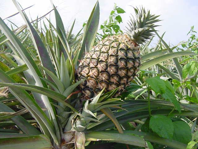 Tshuaj NTSUAB Ananas10