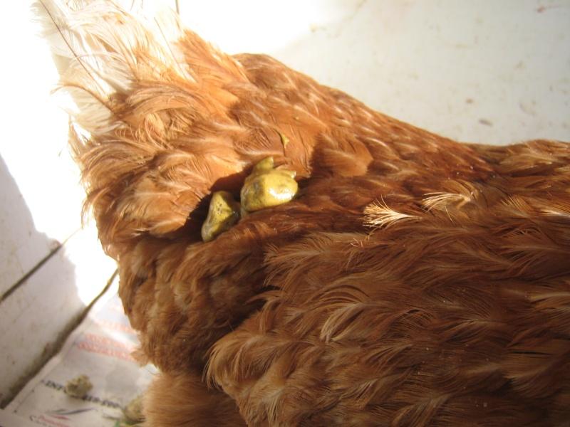 poule malade (salmonelle??? Je panique!!!) [dissection - salpingite] - Page 3 7fav_012