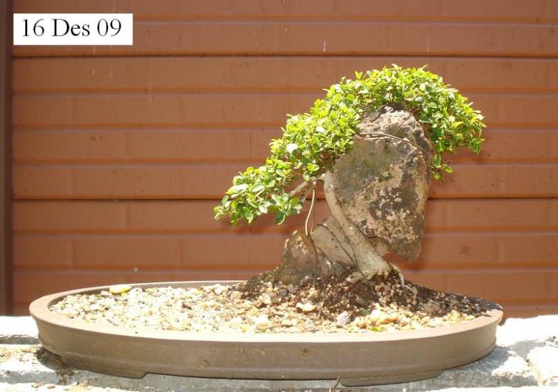 Ficus Burtt-davyii around rock. Nana_110