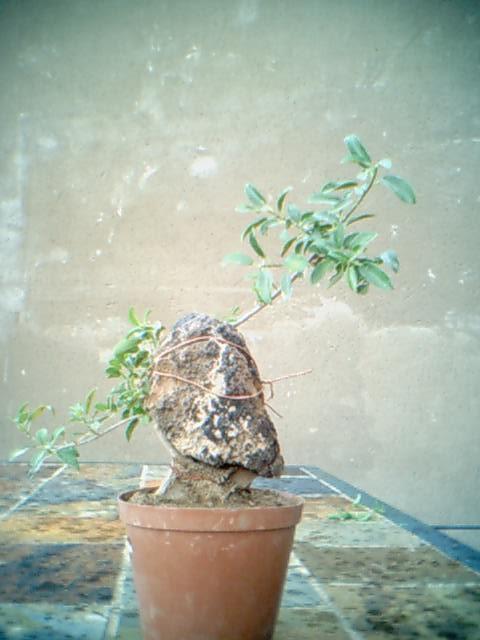 Ficus Burtt-davyii around rock. Nana_s10