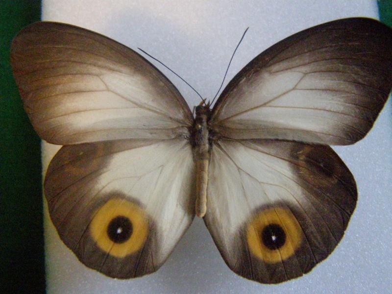 Papillon de Chine N°1 310