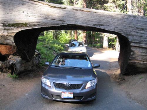Sequoia géant Général Sherman USA Sequoi10