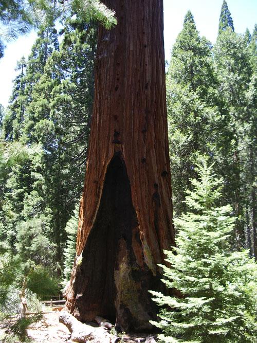 Sequoia géant Général Sherman USA Sequoi12