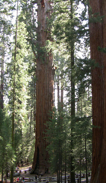 Sequoia géant Général Sherman USA Sherma11