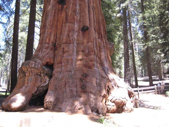 Sequoia géant Général Sherman USA Sherma12