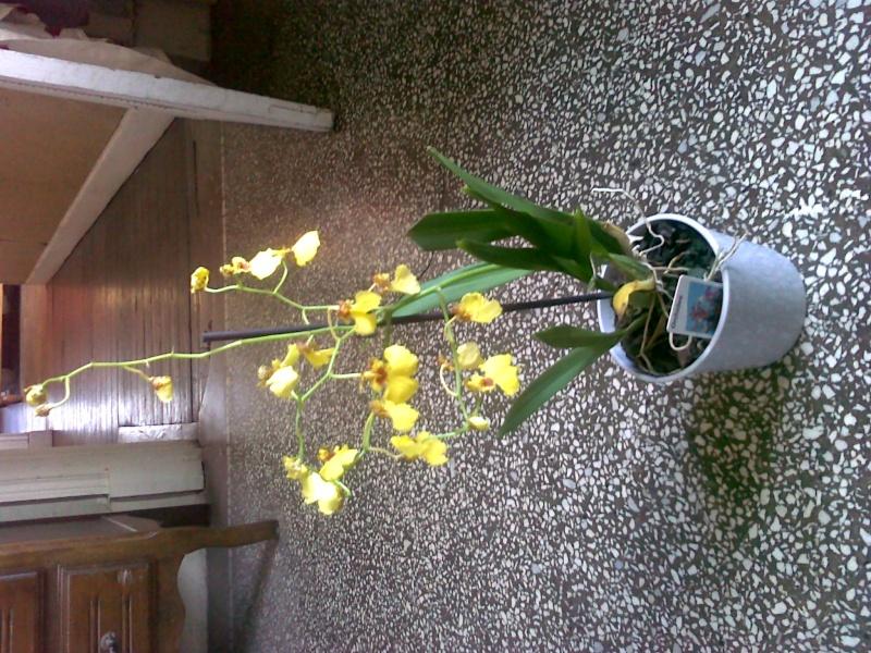 besoin d'aide pour mon orchidée 07012011
