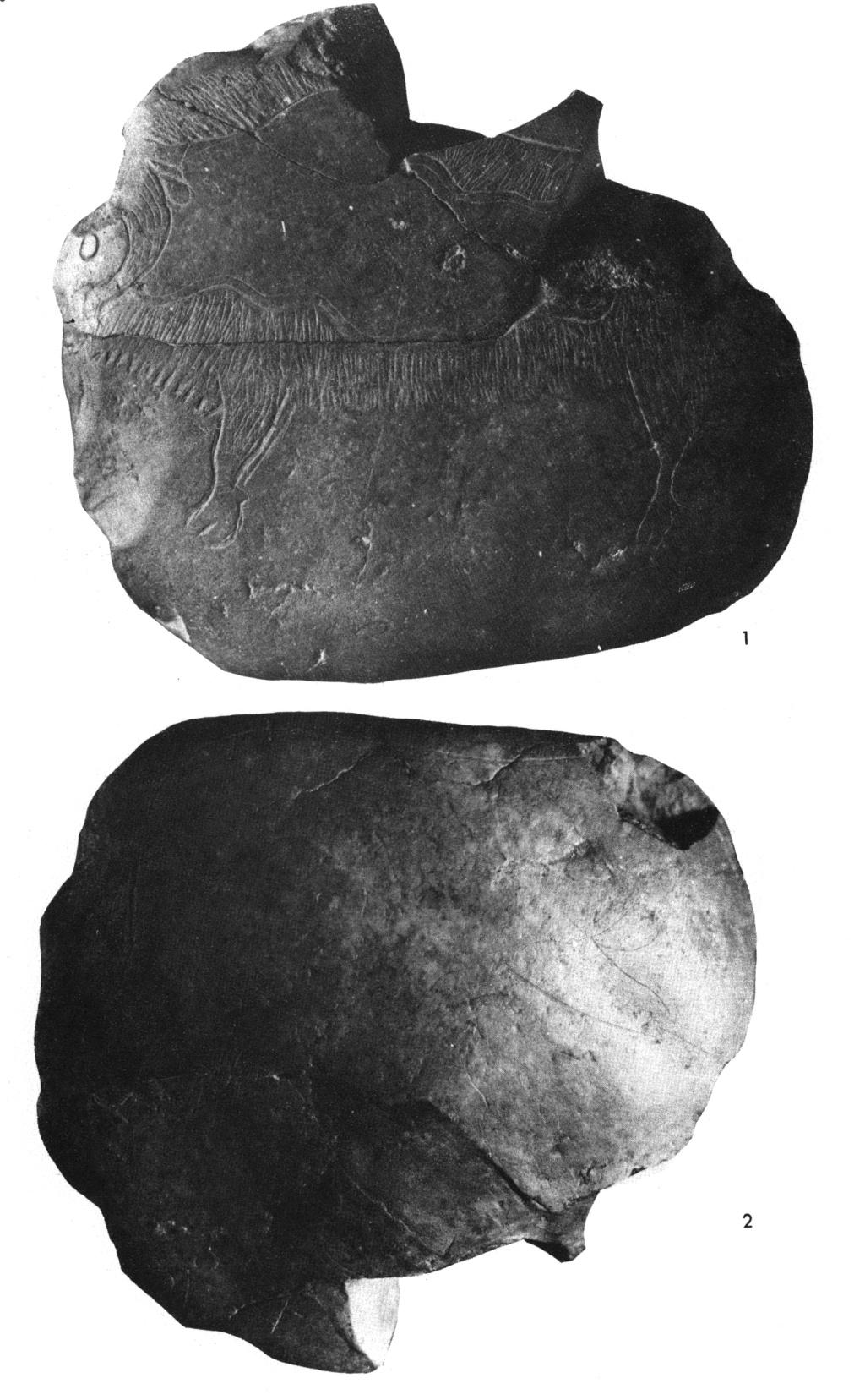 Galets et os gravés magdaléniens de la grotte de la Colombière (Neuville sur Ain / Poncin) Mhnly_10
