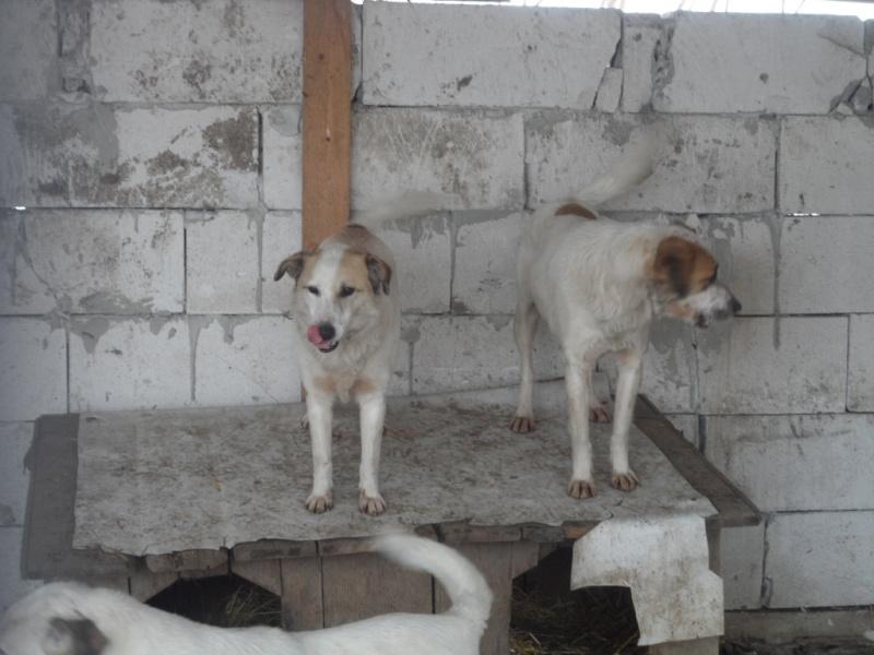 fata - FATA, née le 12/06/2009, arrivée chiot au refuge (soeur de Mickey et fille de Tara) - en FA dans le 49 - GARANT - SOS -R-FB-SC-30MA 14310