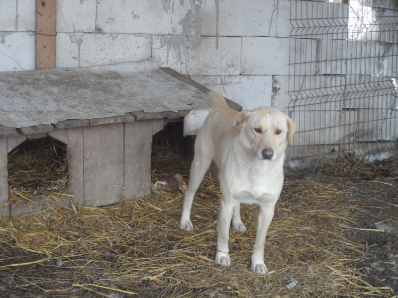 BOX (trois) , croisé labrador, né en 2007 -  Parrainée par Samie + Gage-coeur : (1) Samie -R-F-SOS-SC- Pictu119