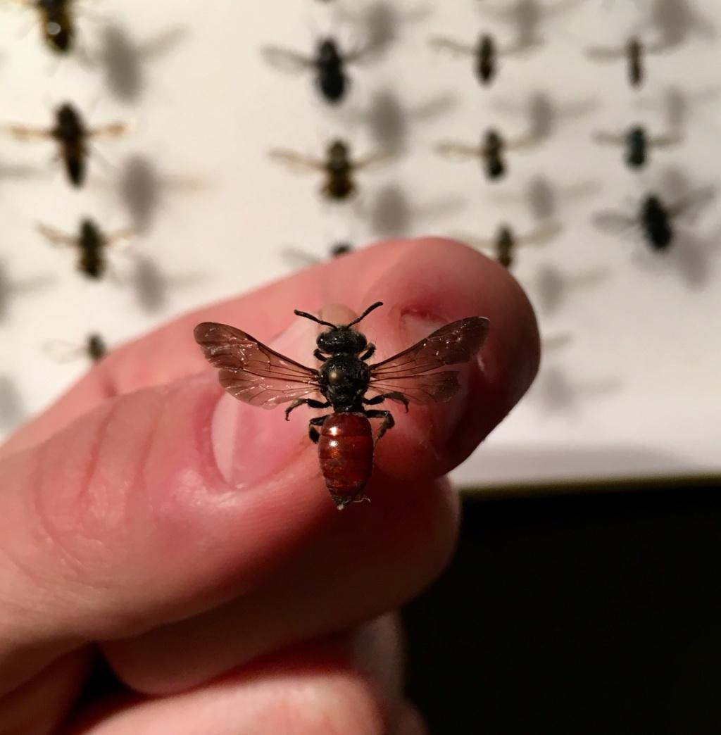 [Sphecodes sp.] Identification d'un Hyménoptère 90f46a10
