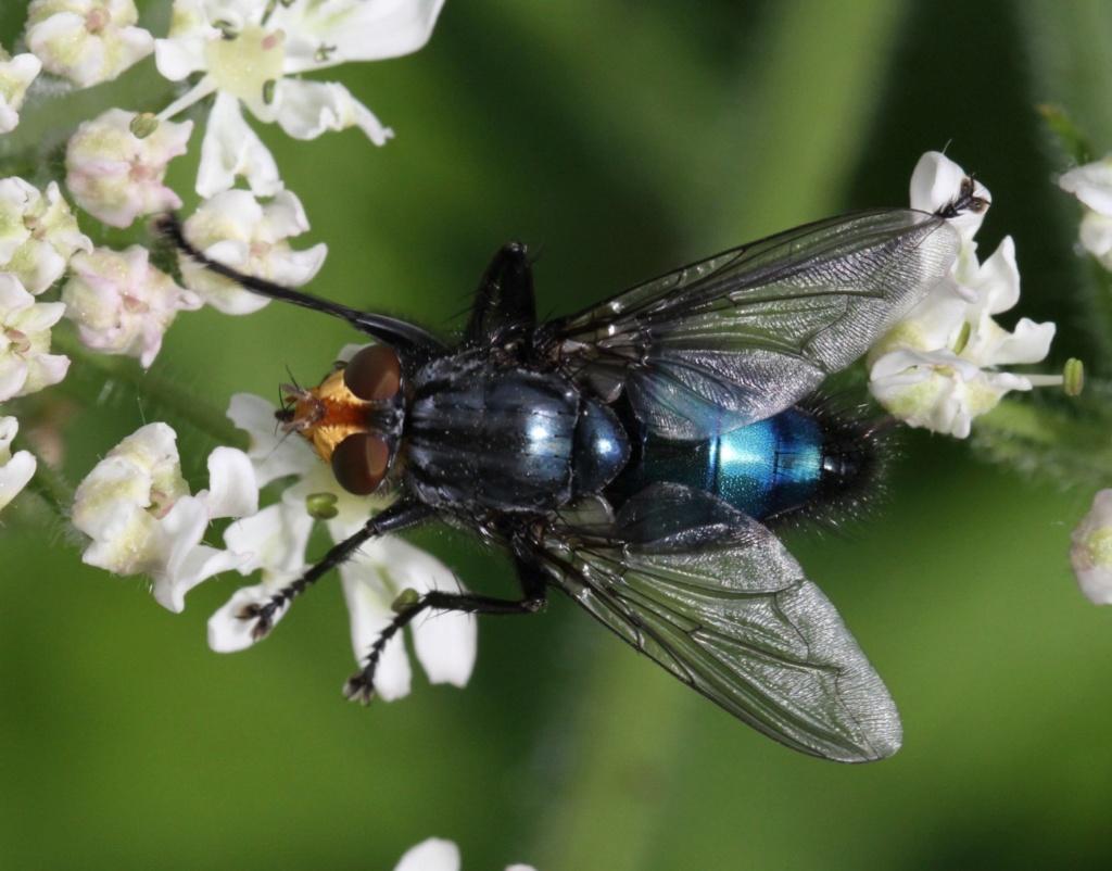 [Cynomya mortuorum] Identification Mouche bleue Img_7110