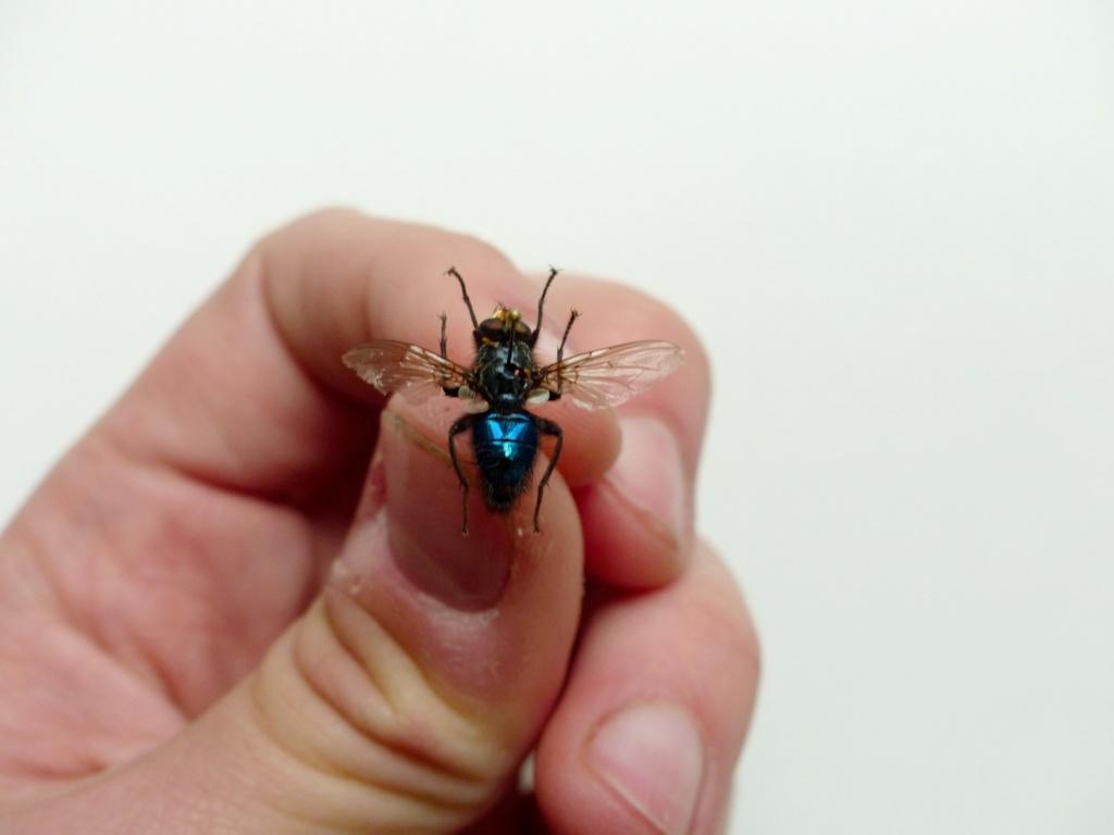 [Cynomya mortuorum] Identification Mouche bleue P1080521