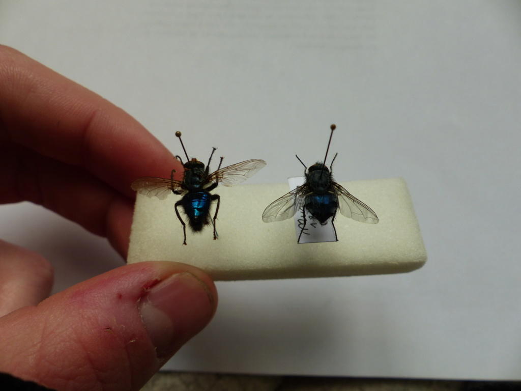 [Cynomya mortuorum] Identification Mouche bleue P1080523