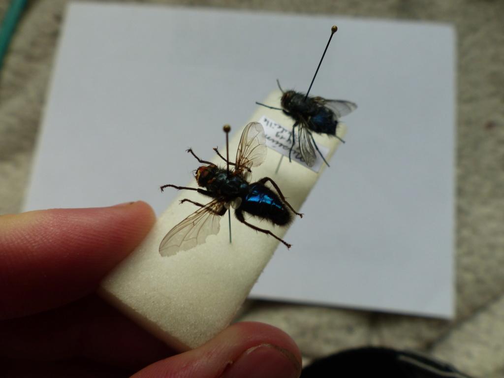 [Cynomya mortuorum] Identification Mouche bleue P1080524