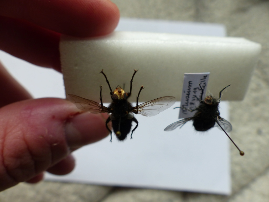 [Cynomya mortuorum] Identification Mouche bleue P1080525
