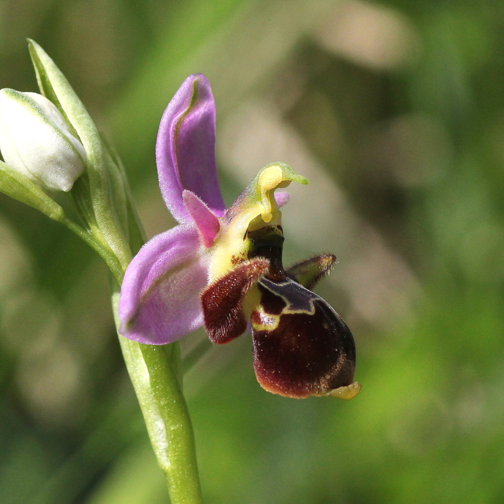 A propos d'Ophrys scolopax Ooce_212