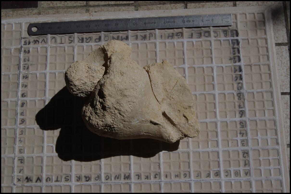 Moule interne Gastèropode du Bartonien de Blaye Imgp1311