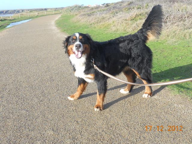 GIPSY, Femelle, Bouvier Bernois, 18 mois (44) - RESERVEE - Dscn2715