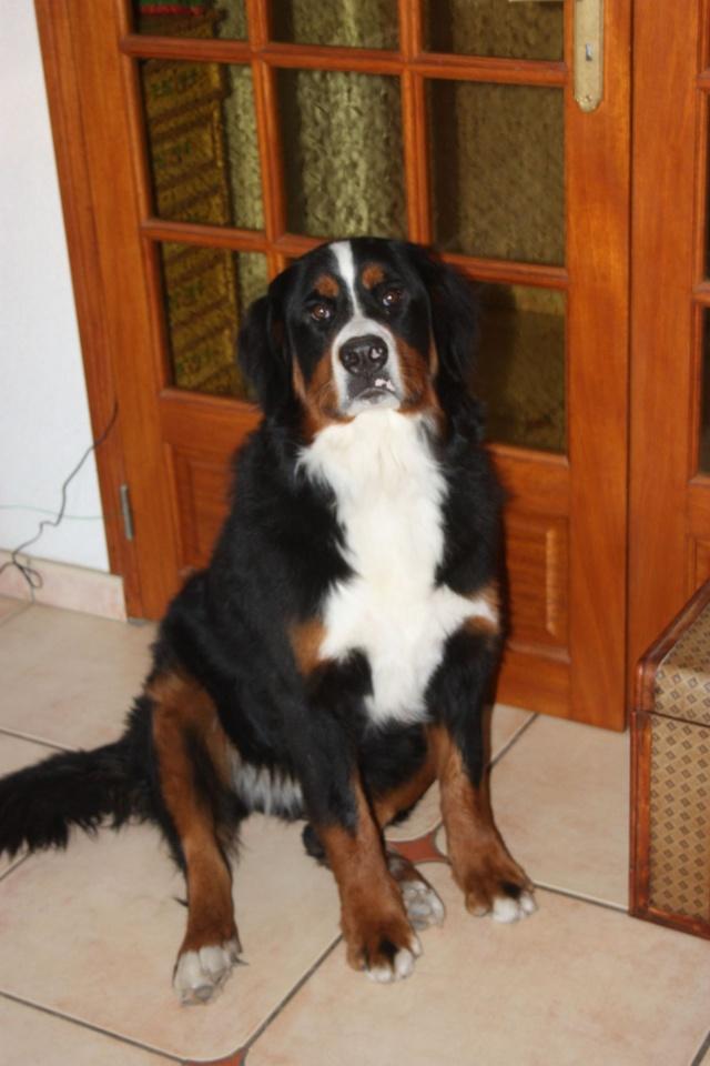 GIPSY, Femelle, Bouvier Bernois, 18 mois (44) - RESERVEE - Gipsy10