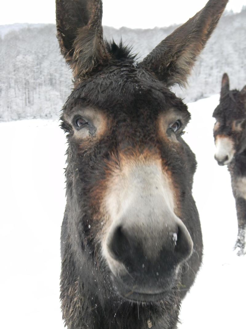 Mes ânes, de la bonne compagnie ! Dscn4112