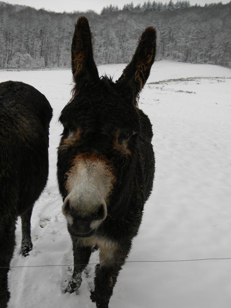 Mes ânes, de la bonne compagnie ! Dscn4113