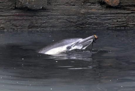Un dauphin meurt dans un canal de Brooklyn à New York 20130113