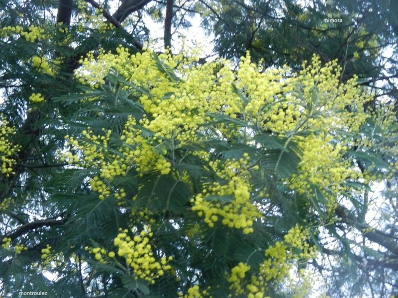 Plantes parfumées du moment Mimosa11