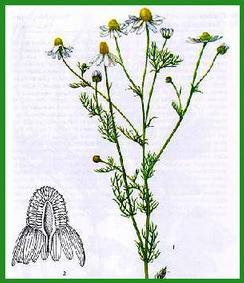 Herbiers Camomi10