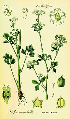 Herbiers Celeri10