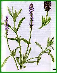 Herbiers Lavand10