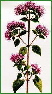 Herbiers Marjol10