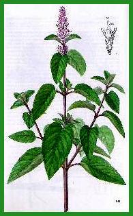 Herbiers Menthe10