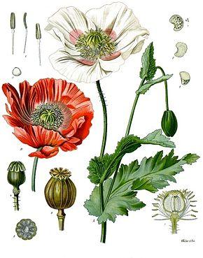 Herbiers Pavot10