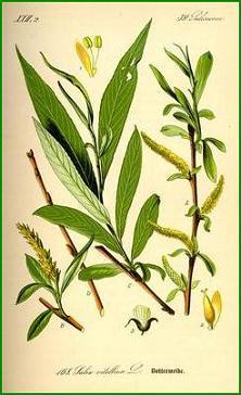 Herbiers Saule10