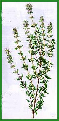 Herbiers Thym10