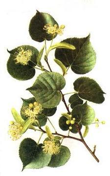 Herbiers Tilleu10