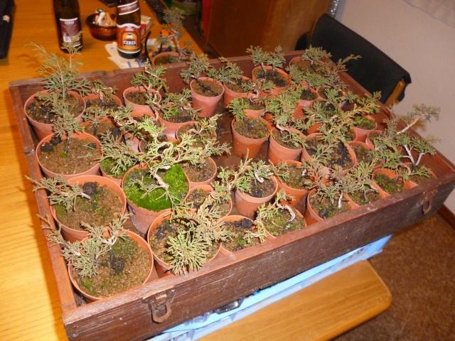 juniperus chinensis crescono - Pagina 4 P1030710