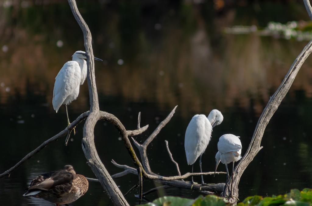 Sortie à la réserve ornithologique du Teich - 24 août 2018 _igp5011